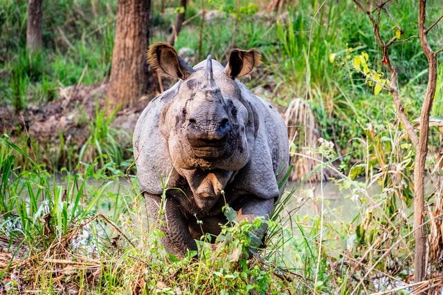 One horned Rhinoceros in Nepal
